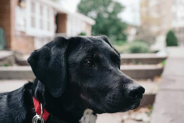 A black hound dog looks out into a park.