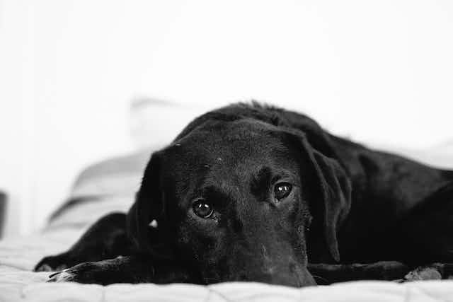 A black dog peers over the edge of a bed with a puzzled demeanor.