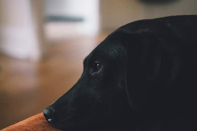 A close-up of the head of a black dog in side profile, looking out into a living room.