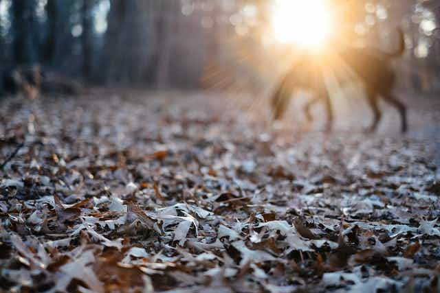Hundreds of dead fall leaves in the foreground, with the sun shining through woods, and the sillhouette of a dog
