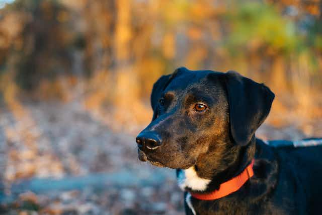 A black hound dog, staring away intensely